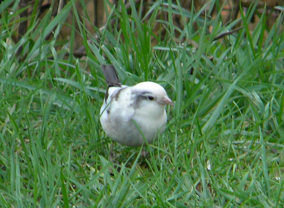 Andy Christie got this photo of an albino or leucistic Dark-eyed Junco in his southern New Hampshire backyard. Keep an eye out for these guys (or gals) among the flocks of Juncos at your feeder this winter.