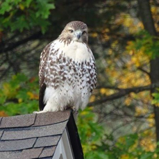 Alex Kossakoski of Keene, NH, got this shot of a Red-tailed Hawk in his yard.