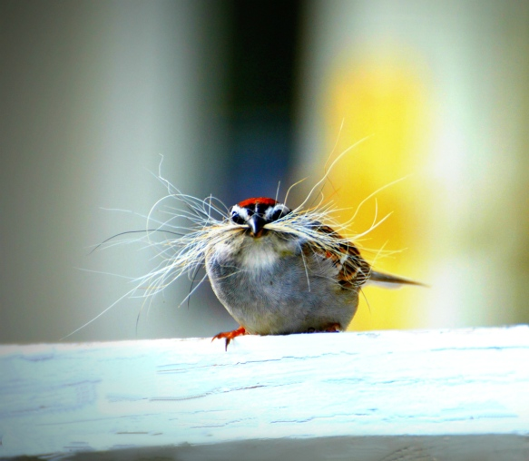 Amanda Landry of Gorham, Maine, got this shot of a chipping sparrow collecting nesting material.