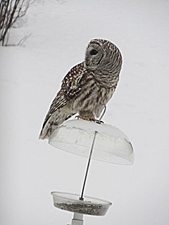 https://birdsofnewengland.files.wordpress.com/2013/11/barred-owl-hoyt.jpeg
