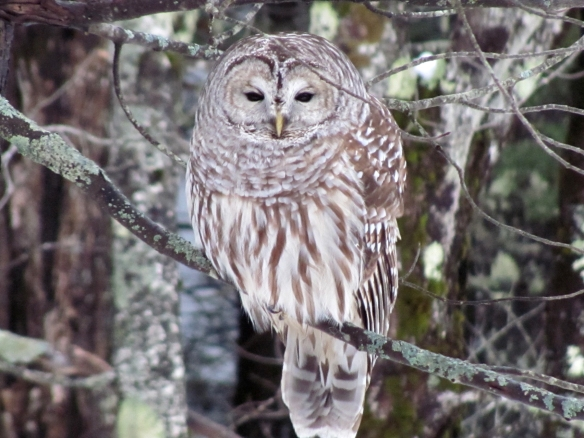 Jeannie Merwin of Marlow got this shot of a Barred Owl in her yard. She said the owl returns to her yard every January.