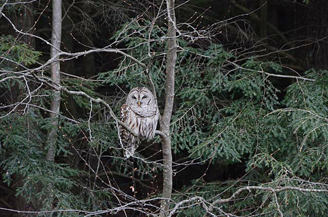 Mary Ellen Powell got this photo of a Barred Owl along Route 9 near Otter Brook State Park, Roxbury, NH, winter 2014-15.