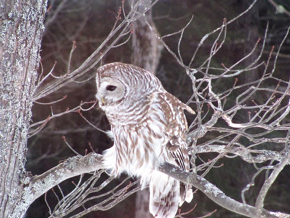 Barred Owl by Jeannie Merwin in Marlow, N.H.