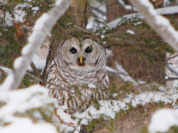 Nancy Robie of Fitzwilliam, NH photographed this Barred Owl in her backyard. The owl was perched in a tree a few feet from her back deck on a Jan. 2014 day.