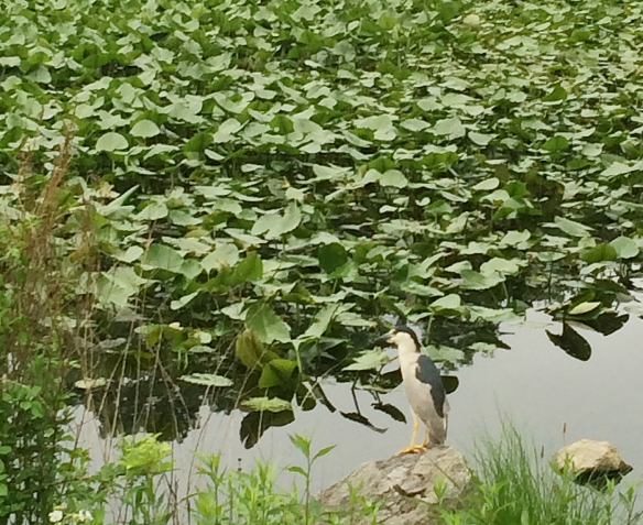 Lisa from Norwalk, Conn., took this photo of a Black-crowned Night Heron at Wood's Pond in Norwalk.