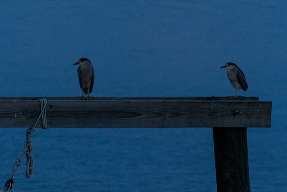 Black-crowned Night Herons photographed by Norwalk's Jason Farrow in Norwalk, Conn.