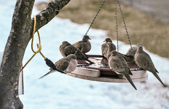 Bitsy Farnsworth of Norwalk, CT, grabbed this shot of bath time for Mourning Doves in March 2014.