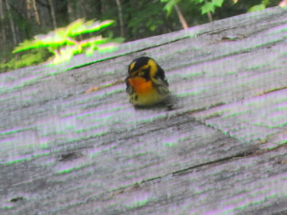 https://birdsofnewengland.files.wordpress.com/2013/11/blackburnianwarbler-1-1.jpg?w=584&h=438