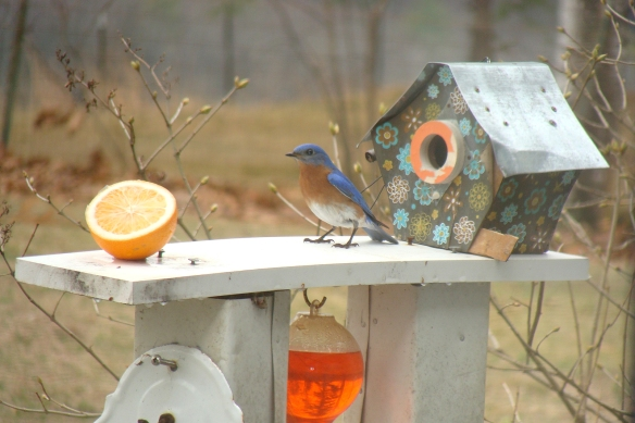 L. Grimes of Hinsdale, N.H., got this photo of an Eastern Bluebird on Saturday, April 12, 2014.