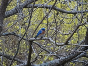 Lee Borden of southwestern New Hampshire got this shot of a bluebird in the backyard.