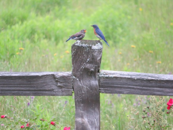 Deb McWethy of Harrisville, N.H. sent in this photo of Eastern Bluebirds at a more appropriate season.