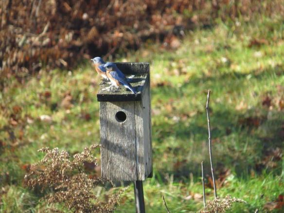 Deb McWethy of Harrisville, N.H. sent in this photo of an Eastern Bluebird pair on a nesting box in mid-November, late for a sighting.