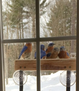 Susan Stevens of Portsmouth NH, took this photo of a group of Eastern Bluebirds eating hulled sunflower seeds at her window feeder in March 2015. She said the bluebirds also eat suet.