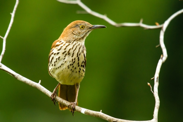Brian Reilly snapped this excellent shot of a Brown Thrasher in the Keene, N.H., area.
