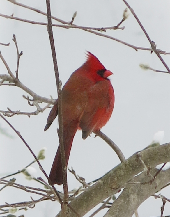 Peter Wells of New Hampshire got this shot of a Northern Cardinal in a star magnolia tree in the harsh weather of Feb. 2015.