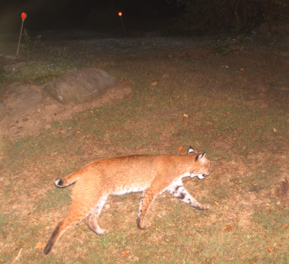 Rich Conklin captured this image of a bobcat walking through Wilton, Conn., with a game camera in Sept. 2015.
