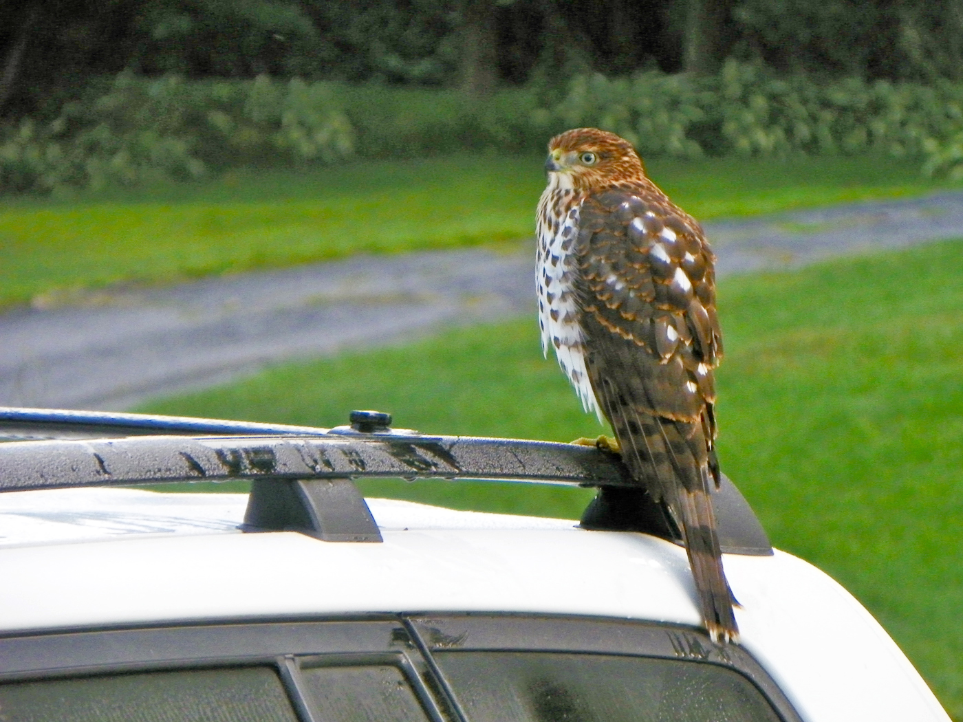 Mary Eccles of Norwalk, Conn., had this visitor waiting on her car in this August 2014 photograph. Not sure where the Cooper's Hawk wanted to go.