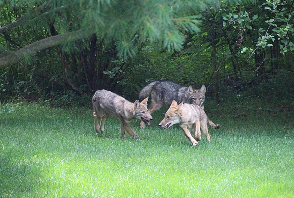 Daniel Shevchik of Wilton, Conn., grabbed a shot of this coyote family playing in his backyard in summer 2014.
