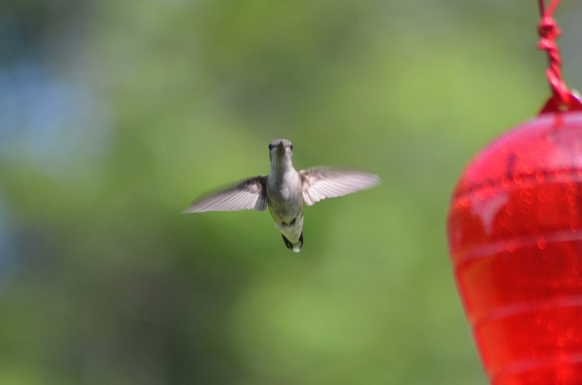 Danielle Gallant of Dighton, Massachusetts, took this shot of a hummingbird at her feeder.