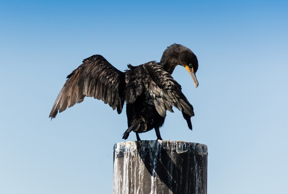 Jason Farrow got the excellent shot of a Double-crested Cormorant in Norwalk, Ct., in summer 2014.