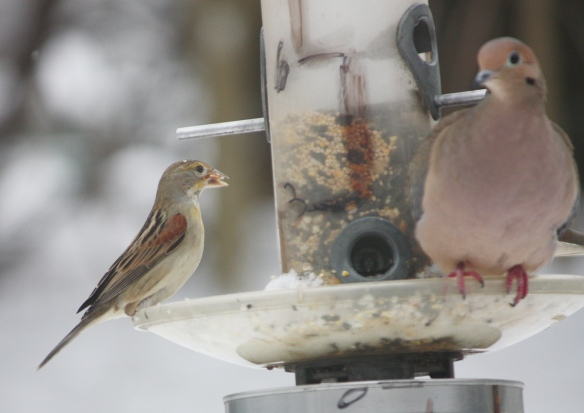 Tom Jenkins of Norwalk, CT, got this shot of a Dickcissel sharing a feeder station with a Mourning Dove, Jan. 2015.