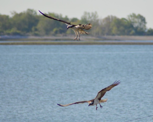Lori Baker of Norwalk, Conn., sent in this photo of an Osprey pair near Long Island Sound in summer 2014.