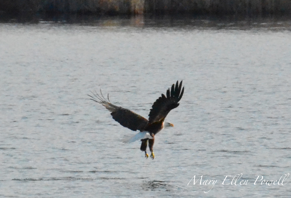 Mary Ellen Powell of New Hampshire got this photo of a Bald Eagle fishing on the Connecticut River in Hinsdale, N.H.
