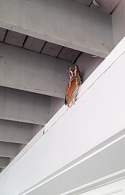 Eastern Screech Owl sent in by Carl Cederstav of Norwalk, CT.