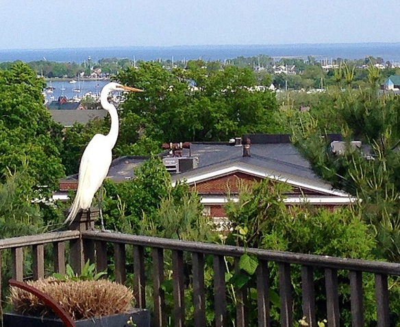 Mike Mushak and David Westmoreland of Norwalk, Conn, got this photo of a Great Egret on their porch. The egret was picturesque, but also ate several expensive fish, such as gold comets, out of their small pond.