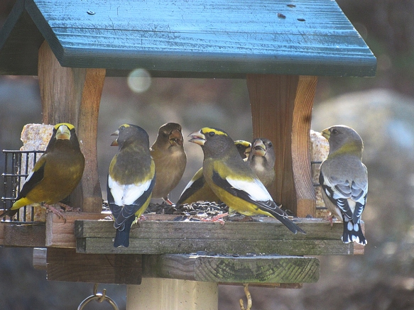 Pam Hoyt got this great shot of Evening Grosbeaks at her feeder in SW New Hampshire in late fall 2016.