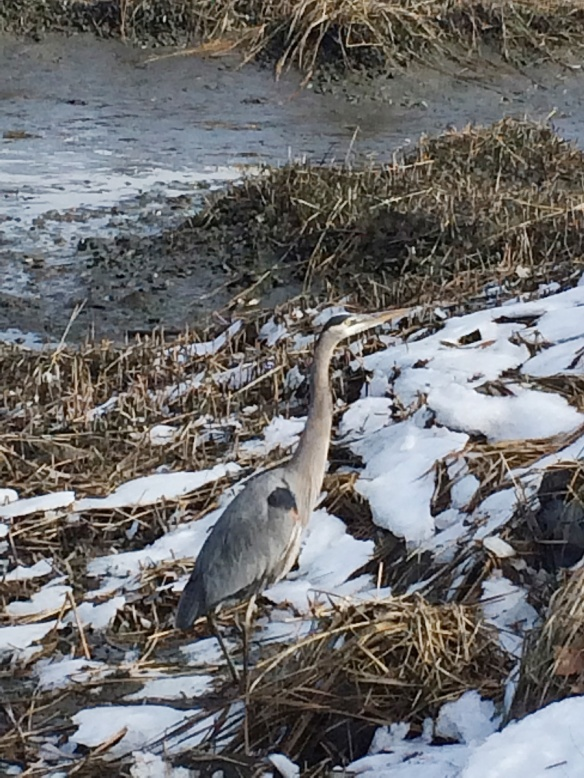 Bill Zak grabbed this photo of a Great Blue Heron braving the half-frozen marshlands of Rowayton, Connecticut, in March 2014.