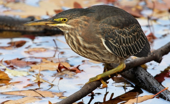 Green Heron in southern Connecticut, November 2013.
