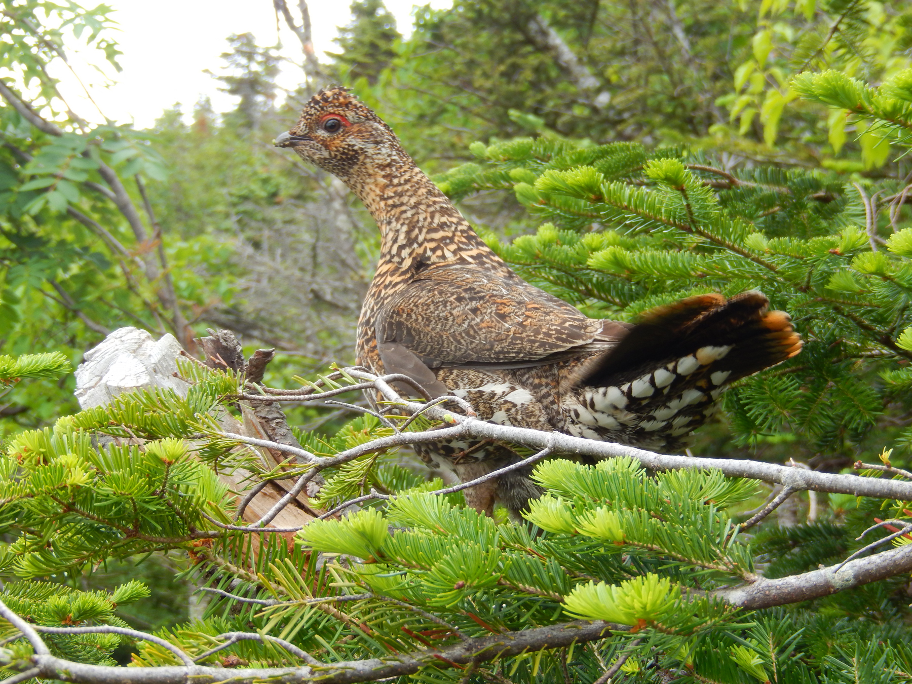 David J. Scheuring of Dublin, N.H., got this shot of a female Spruce Grouse while hiking at Mt. Madison in the White Mountains of New Hampshire.
