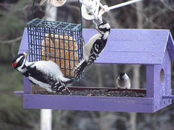 Jeannie of New Hamphsire snapped this photo of a Downy Woodpecker, right, and Hairy Woodpecker. It's a good photo for seeing the size comparison between the two common woodpecker species.