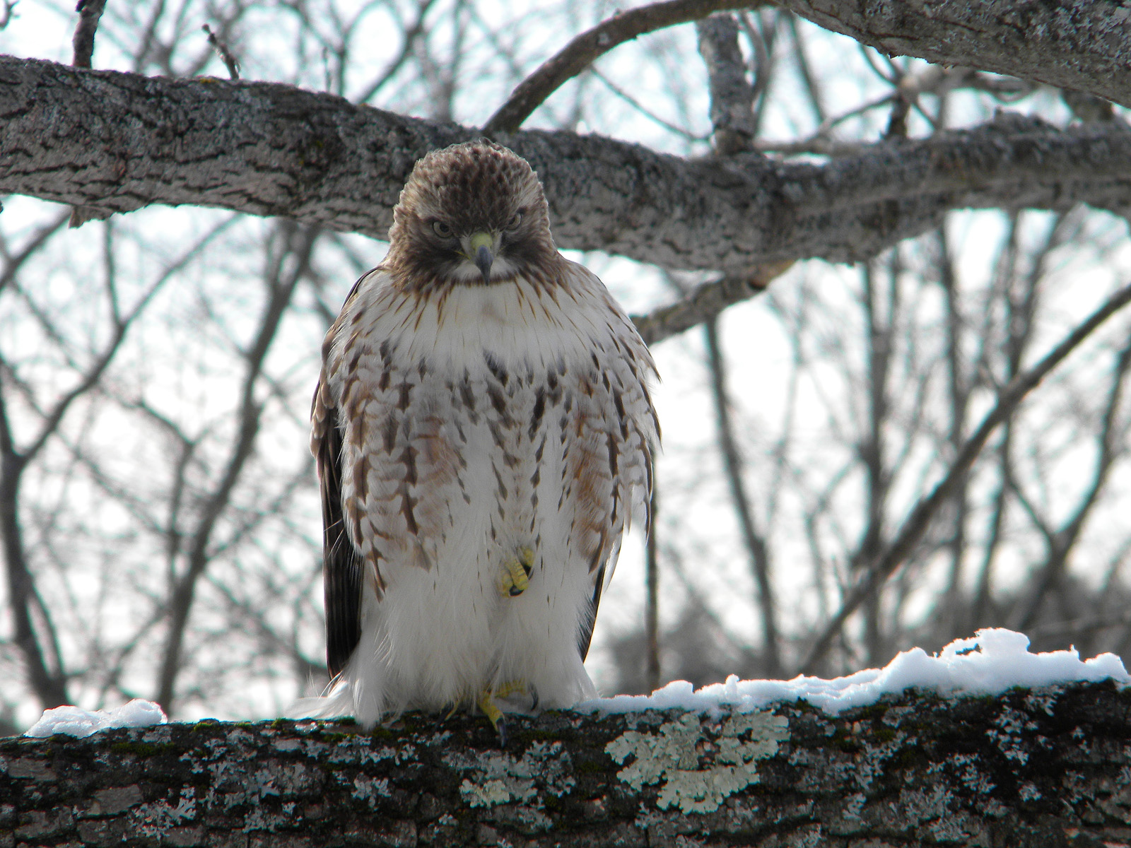 Andy Christie snapped this photo of a Red-tailed Hawk in his southern New Hampshire backyard. He titled it ÒYou want a piece of me?Ó
