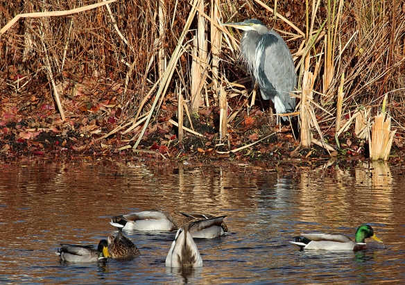 Photo by Chris Bosak A Great Blue Heron rests along the shoreline as Mallards eat in the water at a cemetery in Darien, CT, on Wednesday, Nov. 20, 2013.