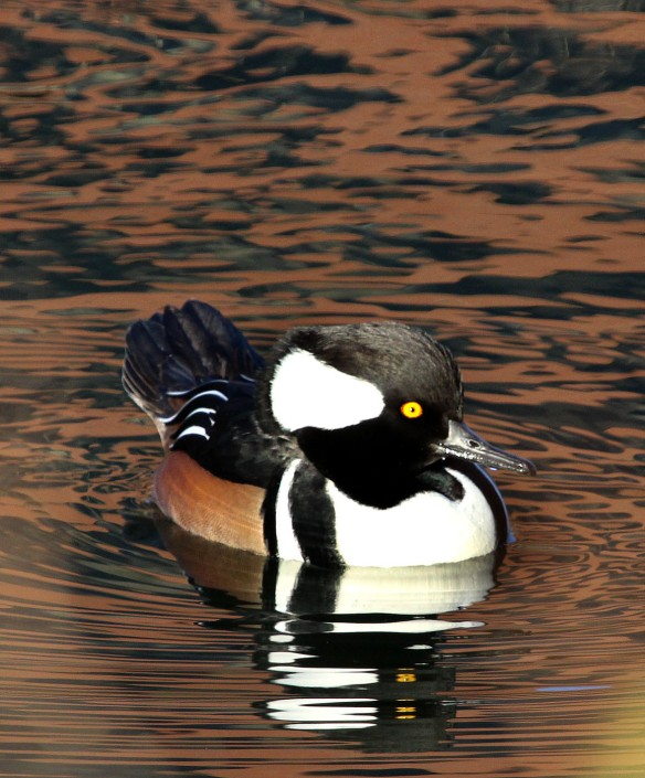 Photo by Chris Bosak A male Hooded Merganser in Holly Pond in Stamford, CT, Nov. 2013.