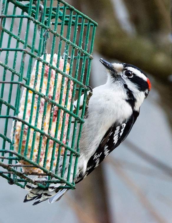 Downy Woodpecker on suet feeder in Norwalk, CT, Jan. 1, 2014. Jason Farrow captured the moment.