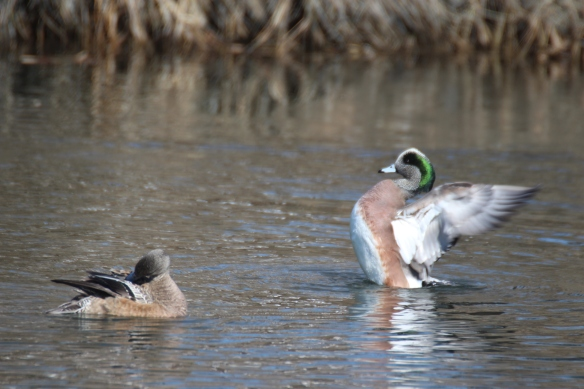 Photo by Chris Bosak American Wigeon in Norwalk, CT.