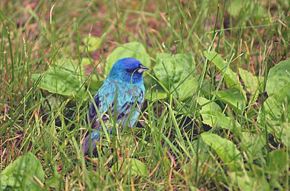 John Martin of southern New Hampshire got this shot of an Indigo Bunting. The bird was injured, but recovered and flew away.