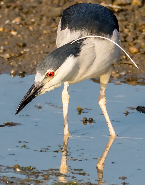Jason Farrow of Norwalk, Conn., got this great photo of a Black-crowned Night Heron.