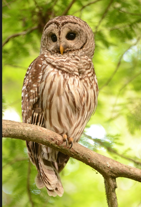 Jim Gibbons of New Hampshire got this great shot of a Barred Owl at Corkscrew Swamp in Florida.