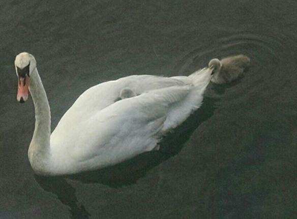 Ginger Katz of Norwalk got this photo of a Mute Swan with babies in Norwalk (Conn.) Harbor.