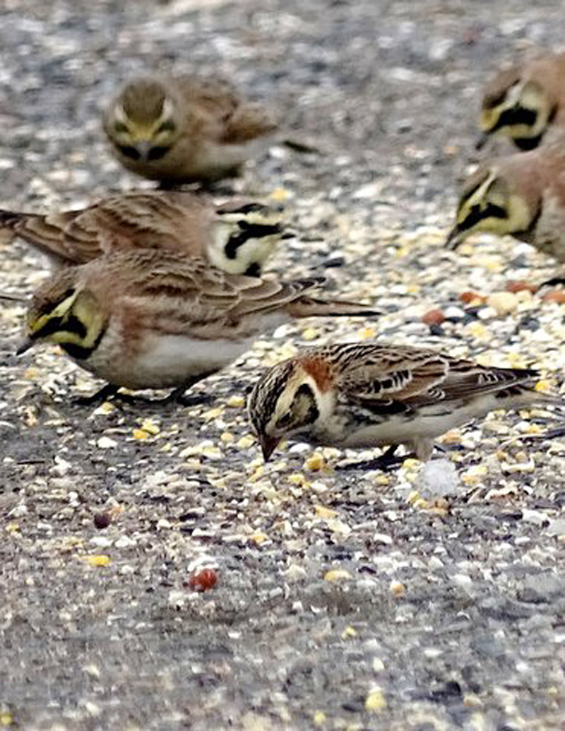 New Hamphsire resident Ann Firestone was visiting the Agway store in Walpole, N.H., when she noticed this Lapland Longspur feeding with a flock of Horned Larks.