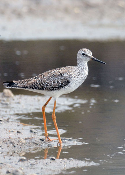 Paul E. Miller of Vernon, Vt., got this this of a lesser yellowlegs, spring 2017.
