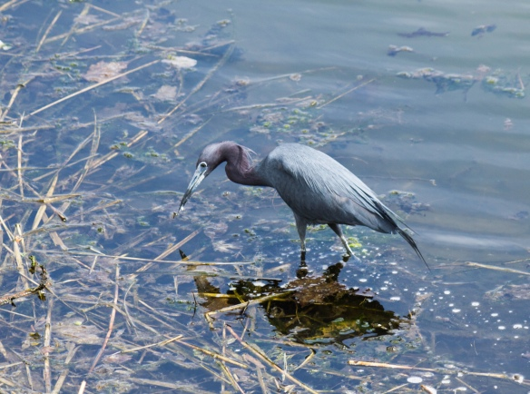 Brian Thoele got this shot of a Little Blue Heron in a small pond in southern Connecticut, April 2015.