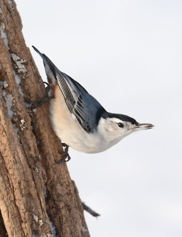Paul E. Miller of Vernon, VT, snapped this shot of a White-breasted Nuthatch.