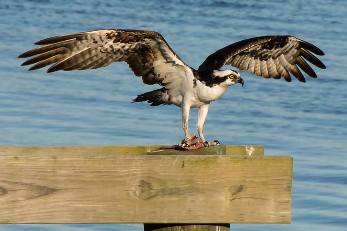 Osprey in Norwalk, Connecticut, May 2014, by Jason Farrow.