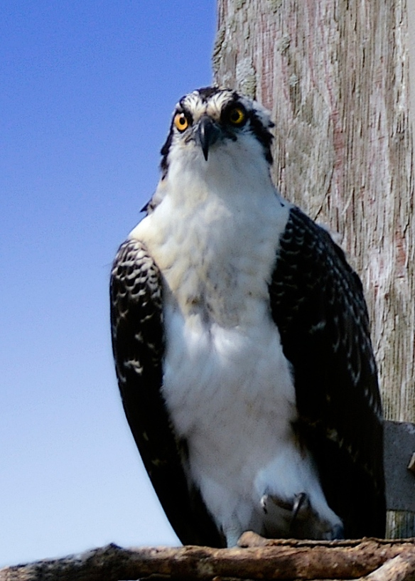 Jason Farrow of Norwalk, CT, sent in this photo of an Osprey he took in the summer of 2013.