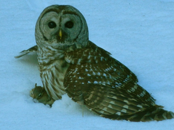 Lynn Kossakoski of New Hampshire got this great shot of a barred owl with a chipmunk.